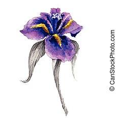 vattenfärg, iris, blomma, violett