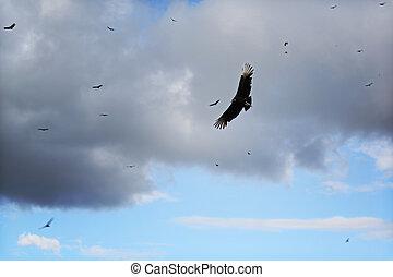 vautours, tourbillonner