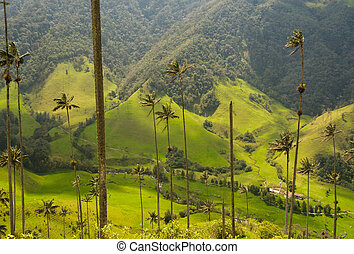 Vax palm trees of Cocora Valley, colombia - Vax palm trees...