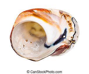vazio, molusco, branca, concha, nautilus, isolado