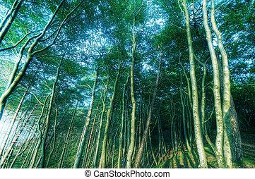 vecchio, foresta