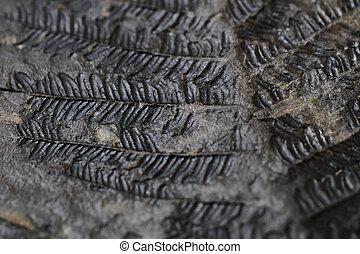 vecchio, fossile, felce