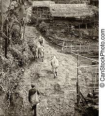 vecchio, foto, mentre, nero, villaggio, mucche, uomo