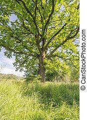 vecchio, quercia, albero