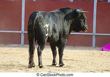 vecht, stier, afbeelding, van, spain., black , stier