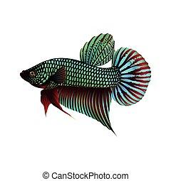 vecht, visje, witte achtergrond