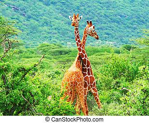 vechten, twee, giraffes