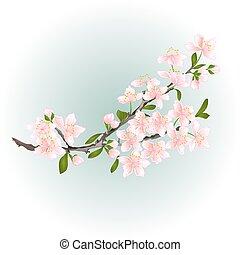 vecteur, branche, fleurs cerise