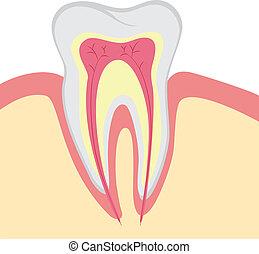 vecteur, dent, structure, humain