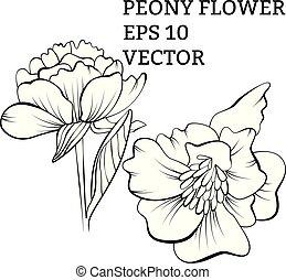 vecteur, dessiné, fleur, pivoine, main