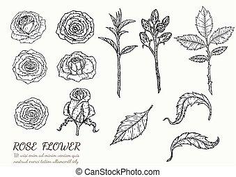 vecteur, drawing., fleur, main, rose