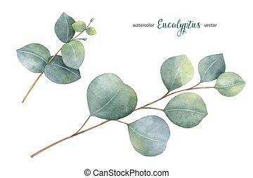 vecteur, eucalyptus, ensemble, peint, feuilles, main, aquarelle, branches.
