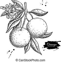 vecteur, fruit, été, branche, gravé, drawing., orange, ...