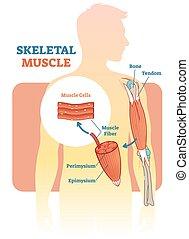 vecteur, humain, diagramme anatomique, squelettique, plan, muscle, illustration, main.