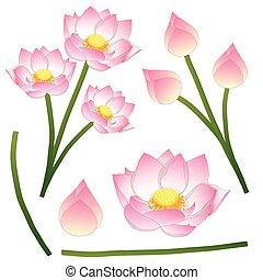 vecteur, nelumbo, fleur, fond, égyptien, bean., national, nucifera, -, isolé, lotus, inde, haricot, indien, sacré, vietnam., inde, blanc, illustration.