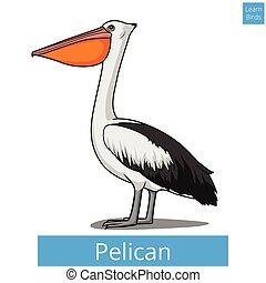 vecteur, pédagogique, jeu, apprendre, pélican, oiseaux, oiseau