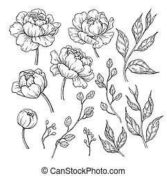 vecteur, pivoine, feuilles, drawing., main, dessiné, gravé, ...