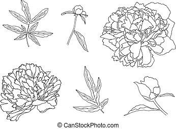 vecteur, pivoine, main, leaves., dessiné, outline., fleur, illustration.