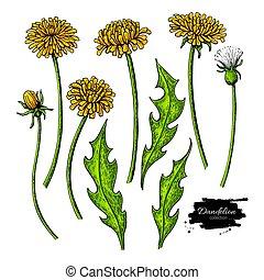 vecteur, plante, dessin, leaves., isolé, set., fleur, pissenlit, sauvage