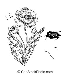 vecteur, plante, pavot, dessin, isolé, leaves., set., fleur, sauvage