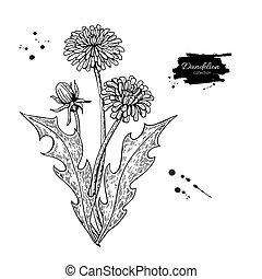 vecteur, plante, set., dessin, leaves., isolé, herbier, gravé, fleur, pissenlit, sauvage