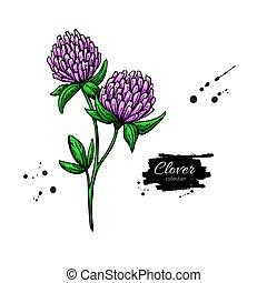 vecteur, plante, style, dessin, isolé, leaves., herbier, gravé, trèfle, set., fleur, illustration., sauvage