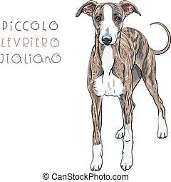 vecteur, race, lévrier, chien, italien