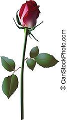 vecteur, rose