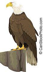 vector, águila, calvo