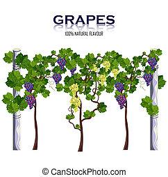 vector., żniwa, winorośl, odizolowany, winogrona, rozwój, biały