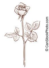 vector, achtergrond, roos, roze, vrijstaand, enkel, witte bloem, illustratie