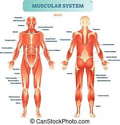 vector, anatómico, cuerpo, macho, educativo, esquema, músculo, muscular, lleno, sistema, poster., ilustración, diagrama