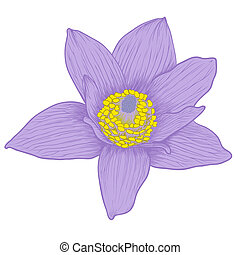 Vector anemone flower in vintage engraving style (colored).