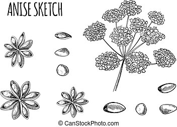 Vector Anise Sketch, Hand Drawn Plant Illustration Isolated, Black Outline Drawings.