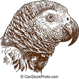 engraving drawing illustration of african grey parrot head -...