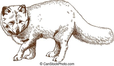 engraving drawing illustration of arctic fox - Vector...