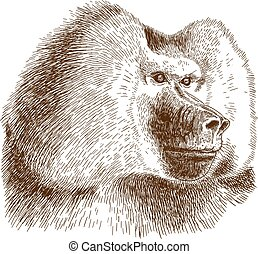 engraving drawing illustration of baboon head - Vector...