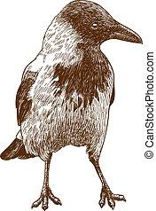 engraving drawing illustration of big crow