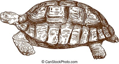 engraving drawing illustration of big turtle - Vector...