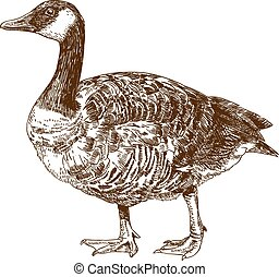 engraving drawing illustration of canada goose - Vector...