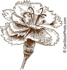 engraving drawing illustration of cornflower - Vector ...