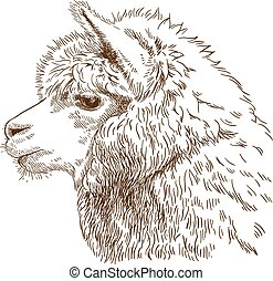 engraving drawing illustration of fluffy llama head - Vector...