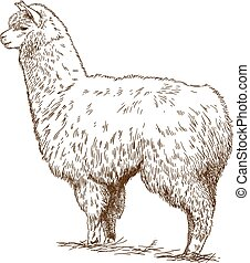 engraving drawing illustration of fluffy llama - Vector...