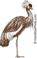 engraving drawing illustration of grey crowned crane -...