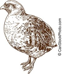 engraving drawing illustration of grey partridge - Vector...