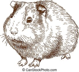 Vector antique engraving drawing illustration of guinea pig or cavy isolated on white background