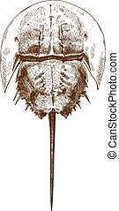 Vector antique engraving drawing illustration of horseshoe crab top view isolated on white background