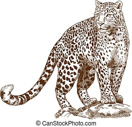 engraving drawing illustration of leopard - Vector antique ...