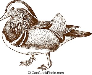 Vector antique engraving drawing illustration of mandarin duck isolated on white background