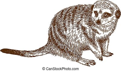 engraving drawing illustration of meerkat - Vector antique...